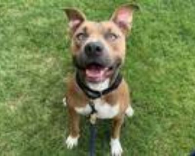 Adopt Wheels a Red/Golden/Orange/Chestnut American Pit Bull Terrier / Mixed dog
