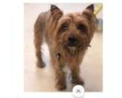 Adopt Pacey a Yorkshire Terrier