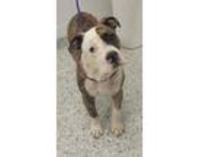 Adopt Prince Tandy a Brown/Chocolate American Pit Bull Terrier / Mixed dog in