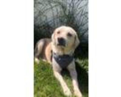 Adopt Jovial Johnn a Labrador Retriever, Golden Retriever