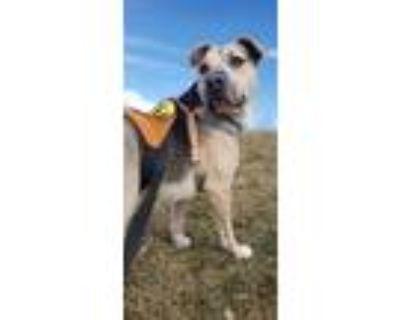 Adopt GRUBER a Pit Bull Terrier, German Shepherd Dog