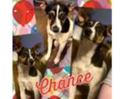 Adopt Chance a Tricolor (Tan/Brown & Black & White) Jack Russell Terrier / Mixed