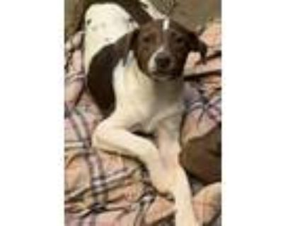 Adopt Garth a Brown/Chocolate - with White Terrier (Unknown Type