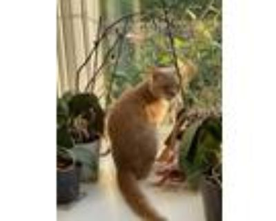 Adopt Sunny a Orange or Red Tabby Domestic Shorthair / Mixed (short coat) cat in