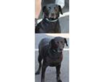 Adopt Willa a Labrador Retriever / Mixed dog in Chantilly, VA (31978694)
