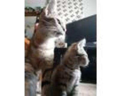 Adopt Google a Tan or Fawn Tabby Domestic Shorthair (short coat) cat in