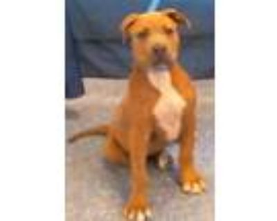 Adopt 159470 a Brown/Chocolate American Pit Bull Terrier / Mixed dog in