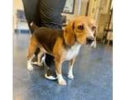 Adopt Juliet a White - with Tan, Yellow or Fawn Beagle / Mixed dog in Fairfax