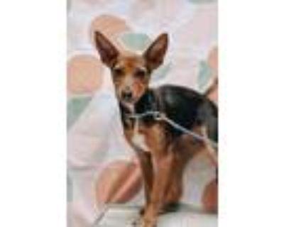 Adopt Ivy a Tricolor (Tan/Brown & Black & White) Beagle / Labrador Retriever /