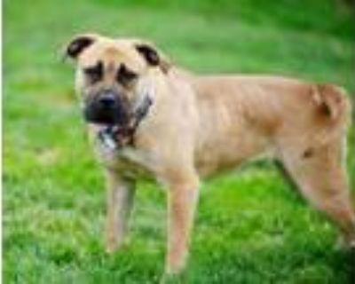 Adopt Sheba a Mastiff, Mixed Breed