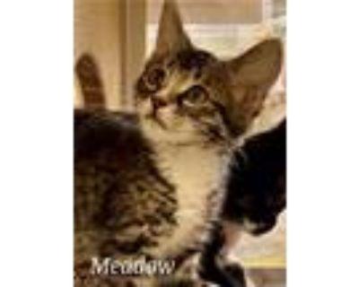 Adopt Meadow a Domestic Short Hair