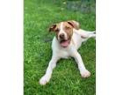 Adopt MOSCATO'S PUPS: BENTLEY a Hound (Unknown Type) / Pointer / Mixed dog in