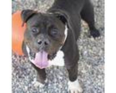 Adopt Mr. Brightside a Pit Bull Terrier