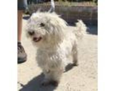 Adopt Larry a White Poodle (Miniature) / Mixed dog in Lathrop, CA (31614056)