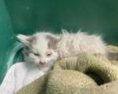 Adopt *BUBBLES a White (Mostly) Domestic Mediumhair / Mixed (medium coat) cat in