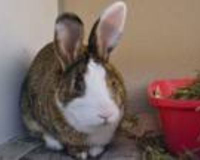 Adopt LOOPER a Bunny Rabbit