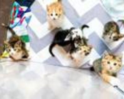 Adopt Kittens are at PetSmart!! a Domestic Long Hair, Domestic Short Hair