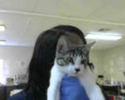 Adopt COTTONBALL a White (Mostly) Domestic Shorthair / Mixed (short coat) cat in