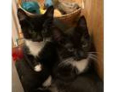 Adopt Grayson & Whitney *bonded pair* a Domestic Short Hair