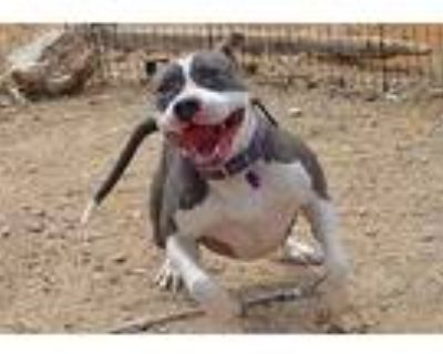 Faith, American Staffordshire Terrier For Adoption In Palm Springs, California