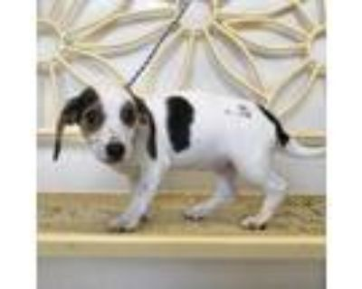 Adopt Charlette a White Beagle / Mixed dog in New Iberia, LA (30296735)
