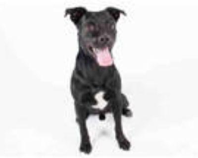 Adopt T'CHALLA a Black - with White Labrador Retriever / Mixed dog in Atlanta