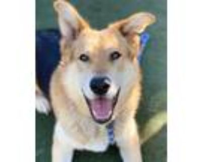 Adopt Hank a Red/Golden/Orange/Chestnut - with Black Shepherd (Unknown Type) /