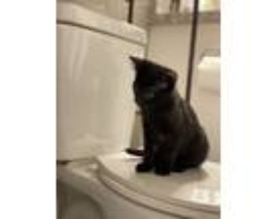 Adopt Shadow a Black (Mostly) Domestic Shorthair / Mixed (short coat) cat in