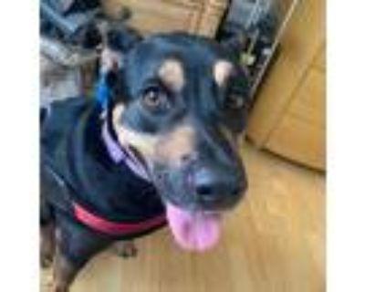 Adopt Sage a Black - with Tan, Yellow or Fawn German Shepherd Dog / Mixed dog in