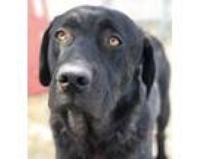 Adopt Jack a Labrador Retriever, Mastiff