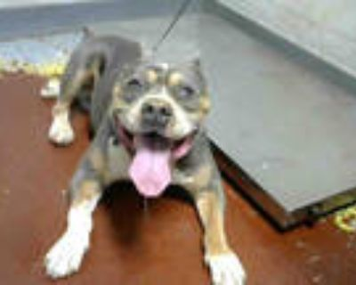 Adopt MAVERICK a Brown/Chocolate - with White American Pit Bull Terrier / Mixed