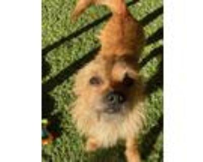 Adopt John a Cairn Terrier, Yorkshire Terrier