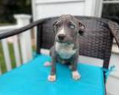 Yosemite, Pit Bull Terrier For Adoption In Derwood, Maryland