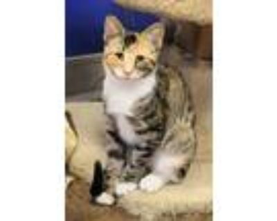 Adopt Natalie a Orange or Red (Mostly) Domestic Shorthair (short coat) cat in