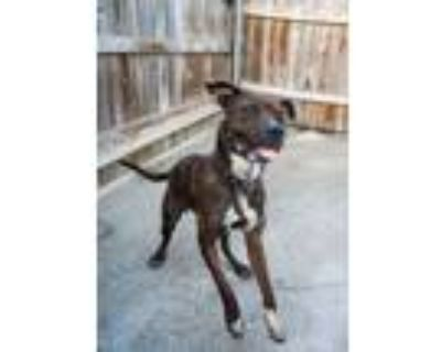 Adopt Roxy a Boxer, Mixed Breed