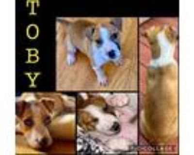 Adopt Toby a White - with Brown or Chocolate Bull Terrier / Mixed Breed (Small)