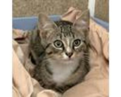 Adopt Mickey a Gray, Blue or Silver Tabby Domestic Shorthair (short coat) cat in