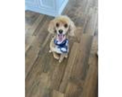 Adopt Red a Red/Golden/Orange/Chestnut - with White Poodle (Miniature) / Mixed