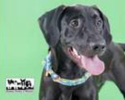 Adopt CECIL a Labrador Retriever, Black and Tan Coonhound