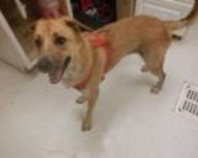 Adopt A591002 a Australian Cattle Dog / Blue Heeler, Golden Retriever