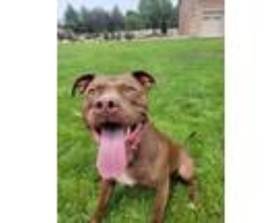 Adopt Bella a Brown/Chocolate - with White American Pit Bull Terrier / American