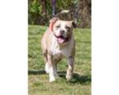 Adopt Boss a Tan/Yellow/Fawn Mixed Breed (Large) / Mixed dog in Georgetown