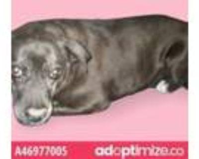 Adopt 46977005 a Black Labrador Retriever / Mixed dog in El Paso, TX (31438178)