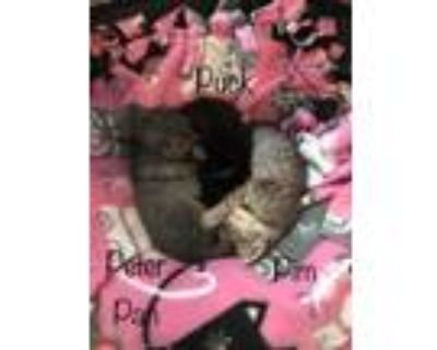 Adopt Pim a Gray or Blue Domestic Shorthair / Domestic Shorthair / Mixed cat in