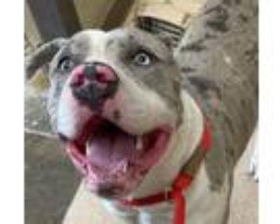 Adopt Jellybean a Pit Bull Terrier / Mixed dog in Little Rock, AR (31479803)