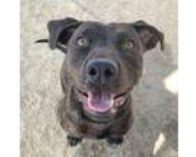 Adopt FIONA a Pit Bull Terrier, Labrador Retriever
