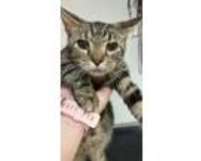 Adopt Mouse a Domestic Short Hair