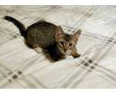 Adopt Cricket a Gray, Blue or Silver Tabby Domestic Shorthair (short coat) cat