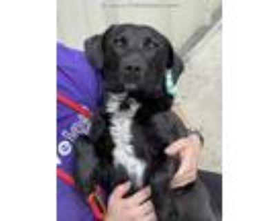 Adopt SCRAGGS a Black - with White Labrador Retriever / Mixed dog in Lincolnton