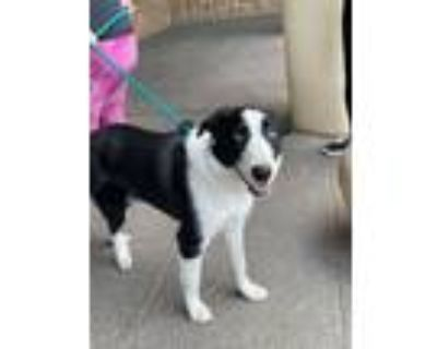 Adopt Edwinn a Black - with White Border Collie / Mixed dog in West Richland